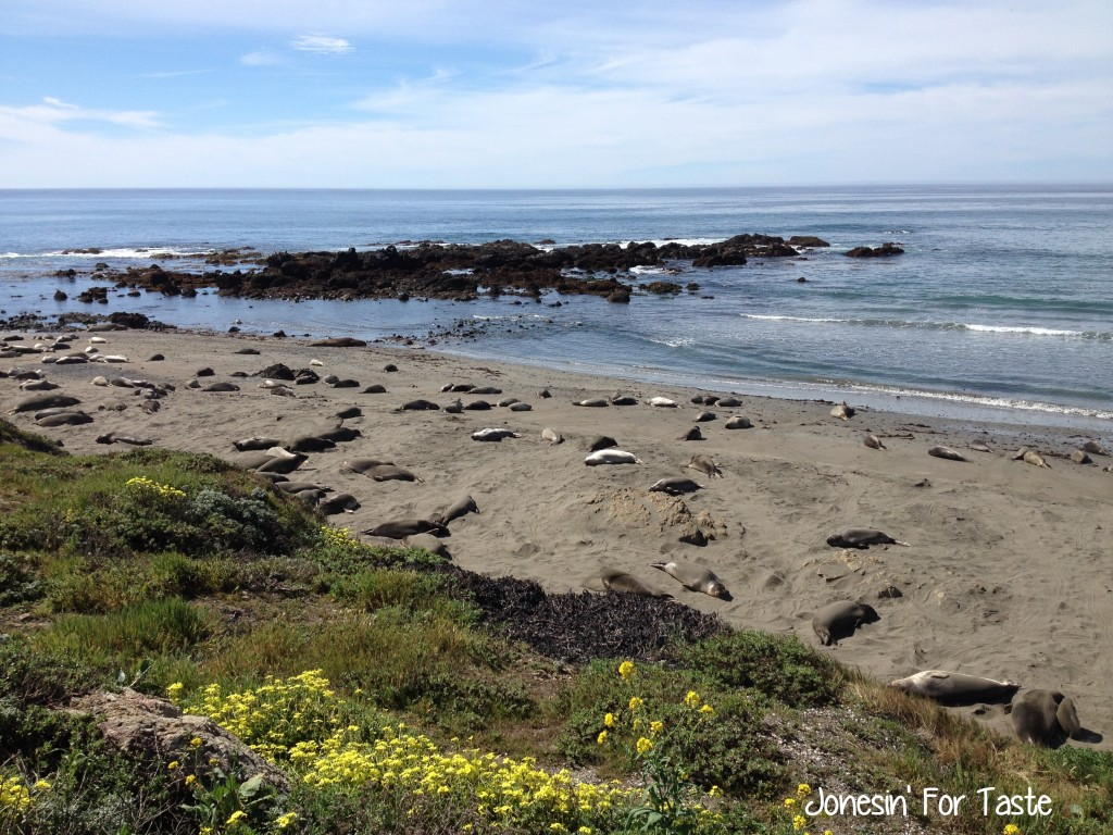 Visit the Elephant Seals at Point Piedras Blancas near San Simeon, California for a fun and free family activity.